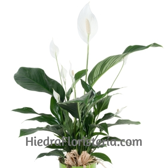 Planta Spathiphyllum